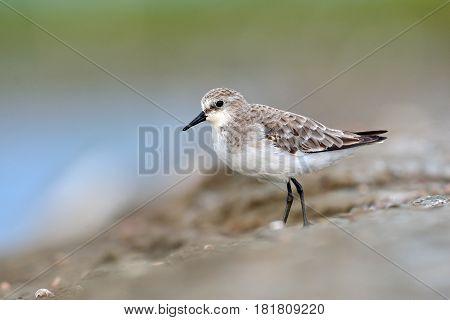 Rufous-necked Stint Bird