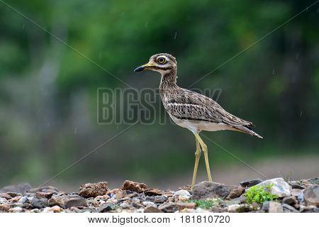 Indian Thick-knee Bird