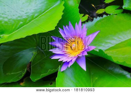 lotus flower purple or water lilly and the bee sucked in pollen beautiful in nature