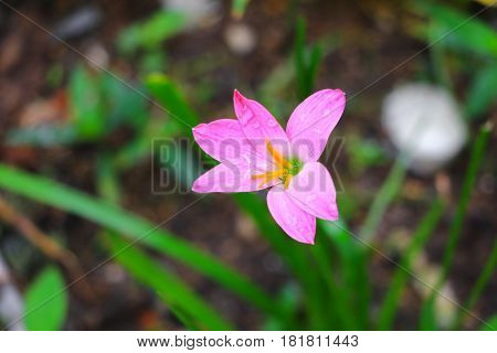 Close up Pink zephyranthes lily flower and blossom drop of water