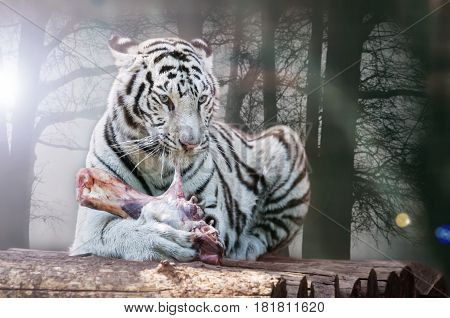 Wild white tiger eats a piece of meat