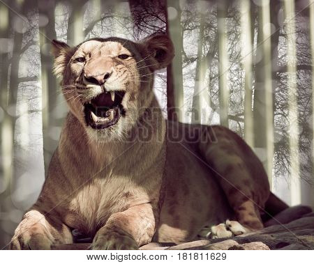 Wild animal lying lioness closeup, forest background