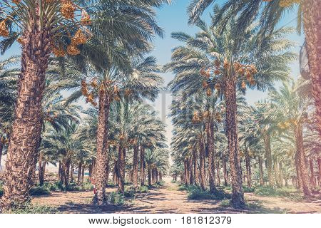 Plantation of date palm trees. Start of the growing season of dates. Concept of agriculture industry in the Middle East.. Toned image for vintage effect