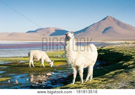 Alpaca On The Laguna Colorada, Altiplano, Bolivia