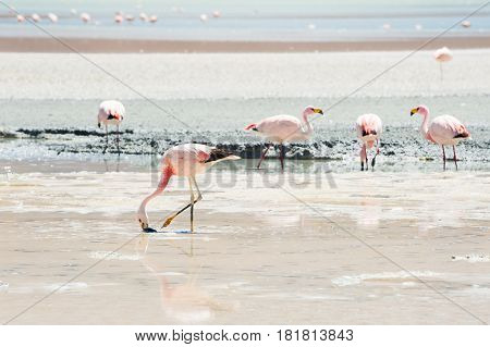 Pink Flamingos In The Lagoon On The Plateau Altiplano, Bolivia
