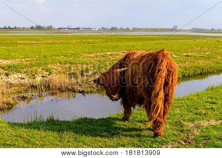 Highland cow with horns and in winter coat is looking at the photographer at the edge of the water of a ditch on a sunny day in the beginning of the spring season.