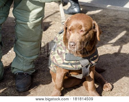 Military dog for demining of bombs in a uniform.