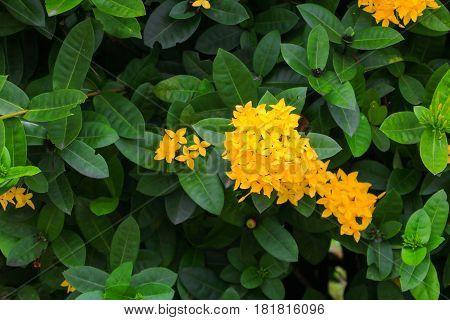 Ixora flower yellow beautiful in the garden