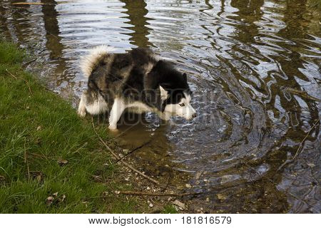 Dog in the River, a late afternoon