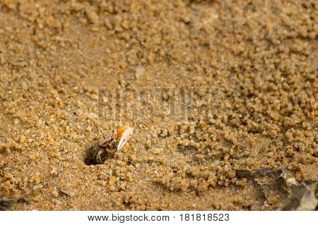 Small fiddler crab appearing causuaslly out if its beach hole home.