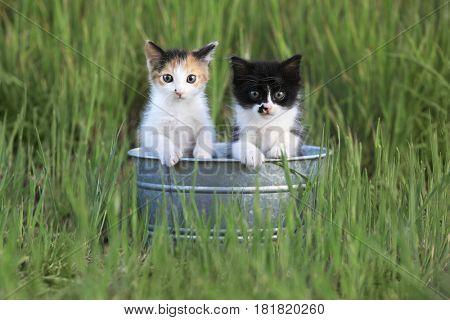 Adorable Kittens Outdoors in Tall Green Grass in a Tin Bin