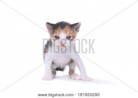 Three Week Old Calico Kitten on White Background
