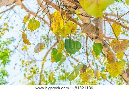 Bodhi leaves on treetop spiritual tree of Buddhism