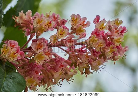 Horse Chestnut Pink In Bloom