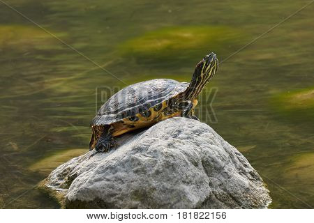 Turtle Rest On Rock At Sun On Pond