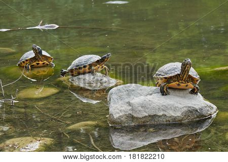 three turtles lined up on rock on the pond