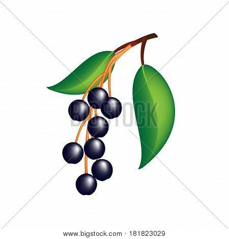 Hackberry (prunus padus) berries with leaves on a white background