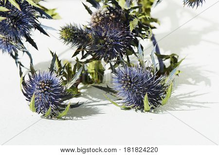 Blue thorn Eryngium Alpi in nature. Texture