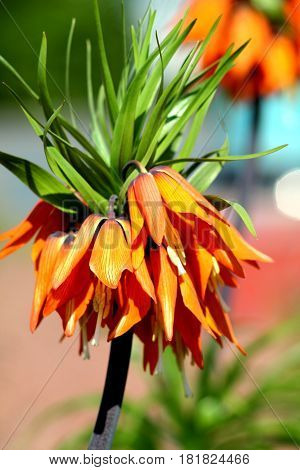 Orange crown imperial lily flowers (fritiallaria imperialis) close up. Shallow focus background.