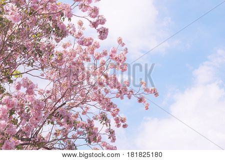 Pink trumpet tree Pink flower And the sky