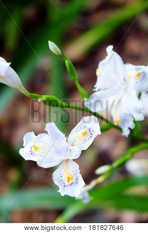 close up image of Beautiful fringed iris blooms