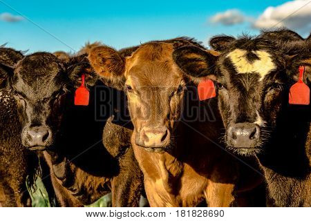 Three beef heifers looking into the sun with blue sky background