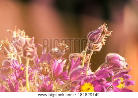 Bunch Of Purple Pasque Flowers