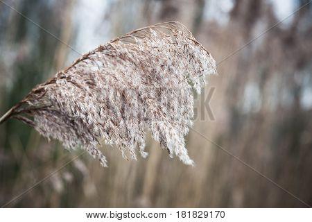 Dry Coastal Coastal Reed, Natural Photo