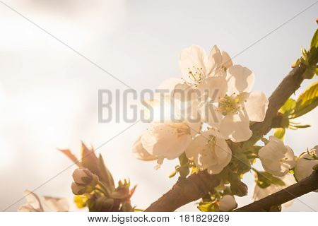Few Spring Blooms Of Cherry-tree