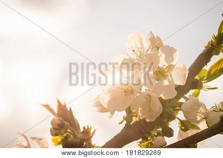 Few Spring Blooms Of Cherry-tree