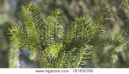 closeup shot of green fir sways on wind in spring sunny morning, 4k photo