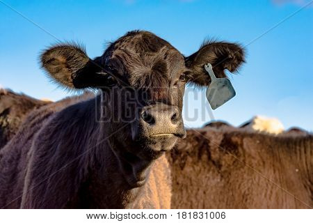 Angus heifer looking at the camera with blue sky background