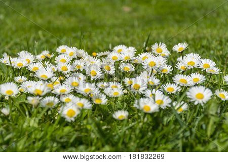 Many white daisies on a meadow. Bellis perennis - Group of daisies on springtime.