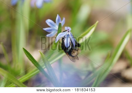 blue snowdrops in sunny spring day with bumblebee, shallow focus