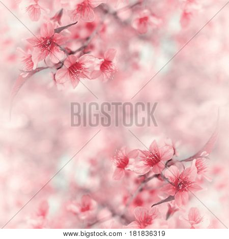 Close-up image of wild himalayan cherry bouquet (Sakura of Thailand) on blurred bokeh background in pink pastel tone with copy space Selective focus