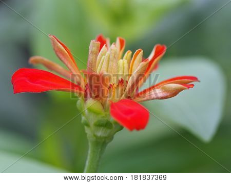 Close Up Of Red Zinnia Elegans Flower Blossom On Green Leaves Background