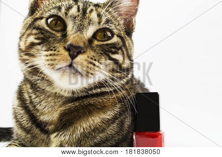 A 6 month old tabby kitten having a laydown next to some nail polish