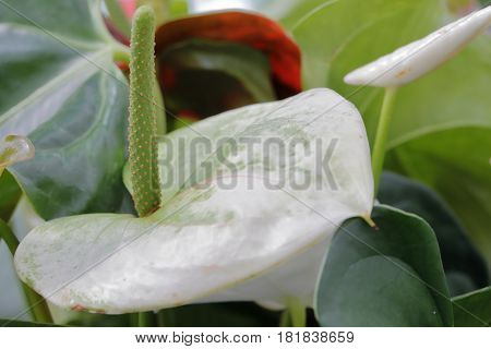 Close-up of an anthurium Araceae blossomed in the garden