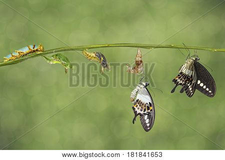 Transformation Life Cycle Of Banded Swallowtail Butterfly (papilio Demolion)