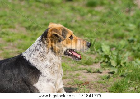 Portrait of mixed breed stray female dogs lying on a ground at sunny spring day