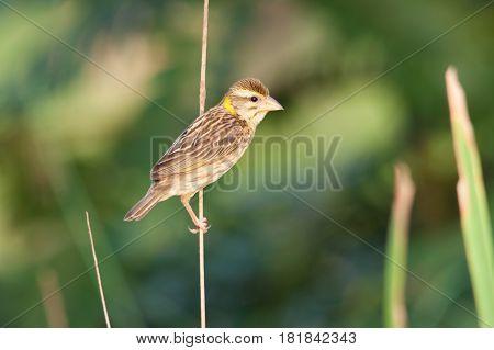 The Streaked Weaver bird seek a food on the tree stick