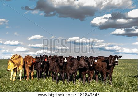 Group of crossbred heifers standing in a lush green pasture with blue sky and fluffy clouds