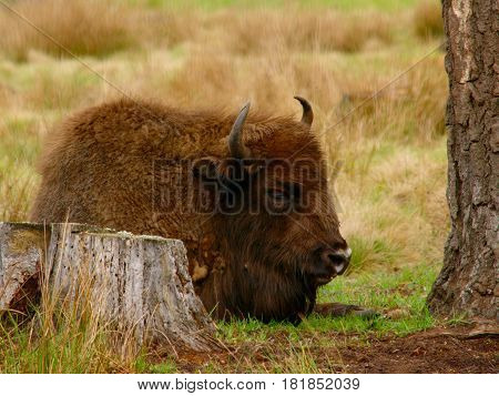 Sleeping bison with horns near a stump