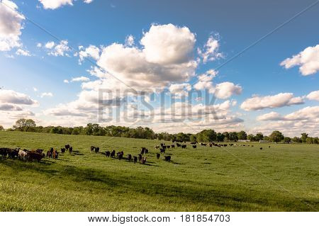 A landscape of commercial stocker heifers in a lush ryegrass pasture in Alabama.
