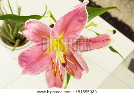 Close up beautiful lily flower in vase