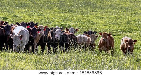 A group of crossbred stocker heifers with the sun at their backs in tall green pasture