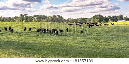 Panorama of commercial stocker heifers in a lush ryegrass pasture in April in Alabama