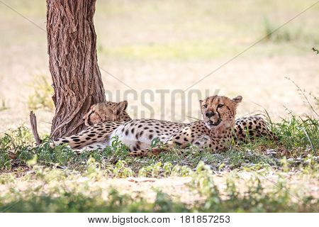 Two Cheetahs Resting Under A Tree.