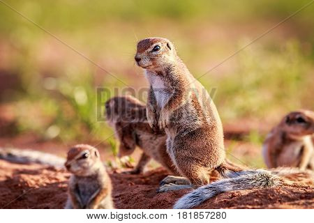 Ground Squirrels In The Sand.