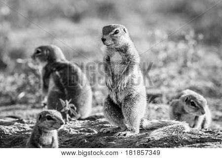 Ground Squirrels In The Sand In Black And White.